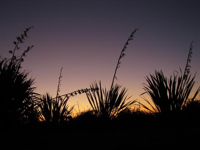 New Zealand Flax Seed Plants