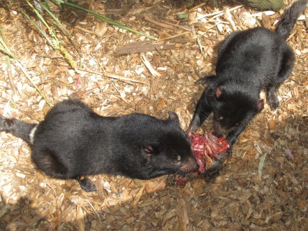 Tasmanian Devils Enjoying their Lunch