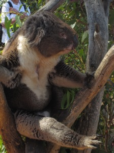 Mr Koala on a Eucalyptus Tree