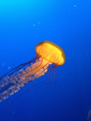 Jellyfish at the Vancouver Aquarium