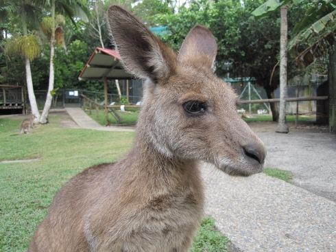 Kangaroo in Kuranda, Queensland, Australia