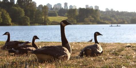 Canada Geese at Burnaby Lake, BC, Canada