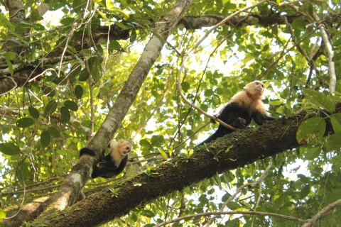 Capuchin Monkeys in Manuel Antonio, Costa Rica